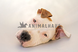 Sad pit bull pup lying down wearing a cone of shame
