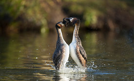 Great Crested Grebe Weed Dance, Yorkshire
