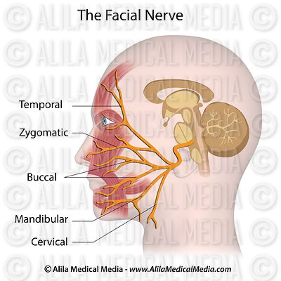 The facial nerve labeled