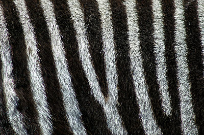 Grevy's Zebra Stripes