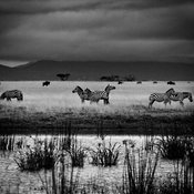 5484-Zebra_Laurent_Baheux