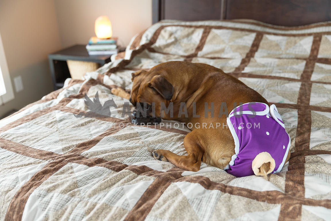 Boxer Dog Wearing Diaper