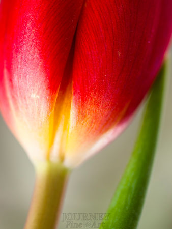 Drooping Tulip Side