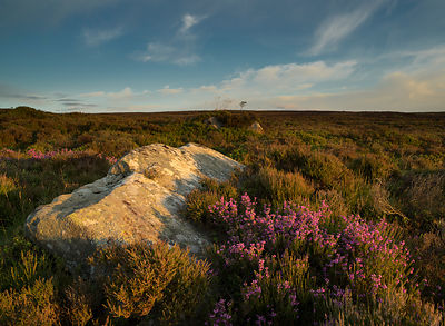 Early flowering heather on Eyam Moor