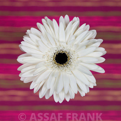 Close-up of white Gerbera daisy on patterned background