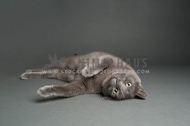 russian blue gray cat rolling laying on a gray background