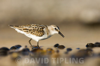 Little Stint Calidris minuta juvenile Salthouse North Norfolk September