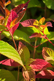 Autumn foliage of Hydrangea