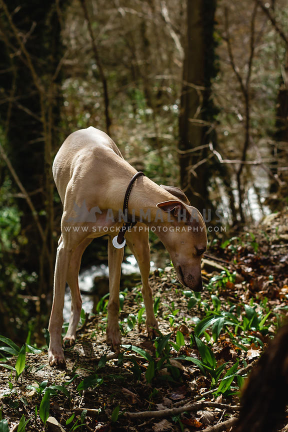 whippet dog sniffing the ground in woods