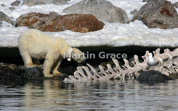 Polar Bear (Ursus maritimus) and Glaucous Gull (Larus hyperboreus) with the vertebral column of a Fin Whale (Balaenoptera phy...