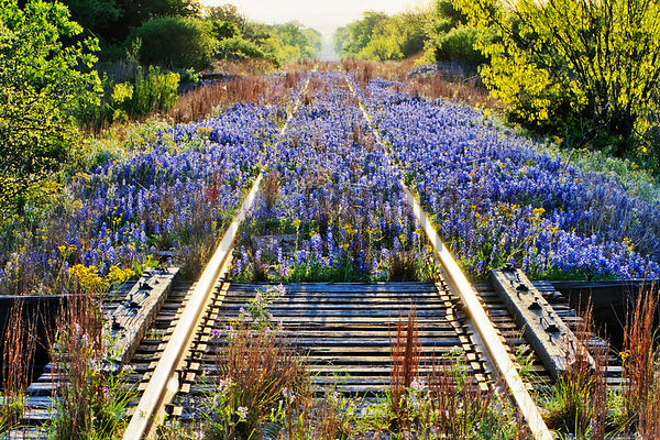 Blue Bonnets on Railroad Tracks