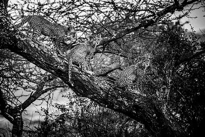 Cheetah cubs in a acacia tree, Kenya 2015 © Laurent Baheux