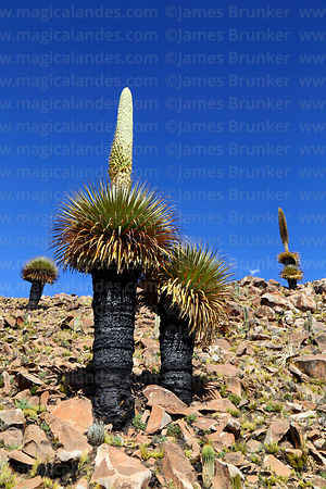 Puya raimondii with nearly full grown flower spike after being burnt the previous year, Comanche, Bolivia