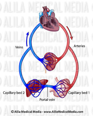 Structure of a portal venous system, labeled