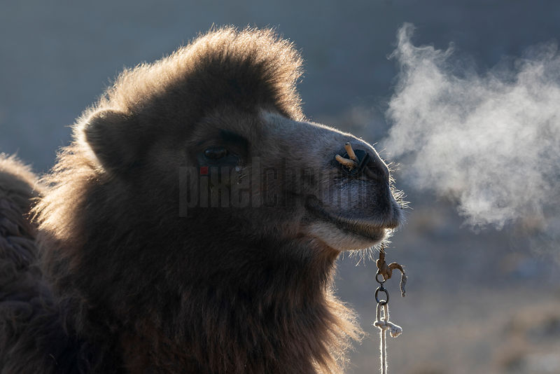Portrait of a Bactrian Camel