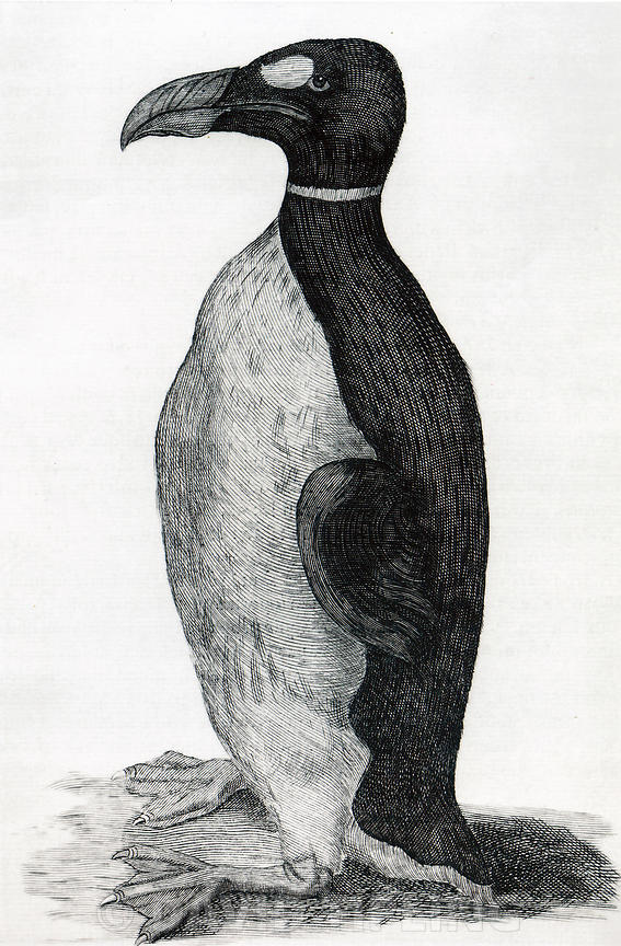 Only known illustration of a Great Auk drawn from life, Ole Worm's pet received from the Faroe Islands. which was figured in ...