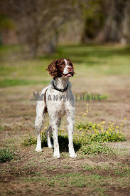 brittany spaniel in field