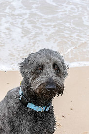 Grey hairy dog, designer breed, looking at camera sitting on a beach, portrait mode, space at top. Beautiful eyes.