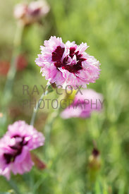 Dianthus 'Mrs Macbride'. Parkhead, Roseneath, Helensburgh, Dumbartonshire, Scotland, UK