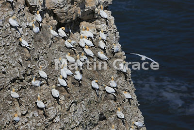 Northern Gannet (Morus bassanus) nesting colony, Bempton Cliffs (RSPB), East Riding of Yorkshire, England