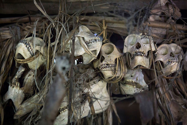 Monkey skulls hunted by the owner of the house in a Uma, Pulau Siberut, Sumatra, Indonesia