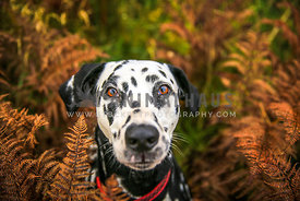 Dalmatian Dog in the woods