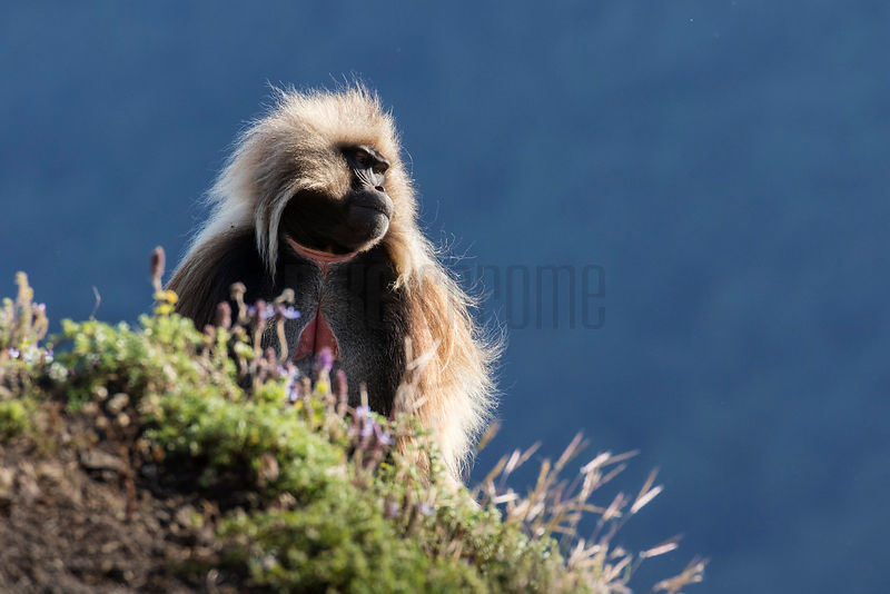 Male Gelada Baboon on the Edge of a Cliff in the Early Morning