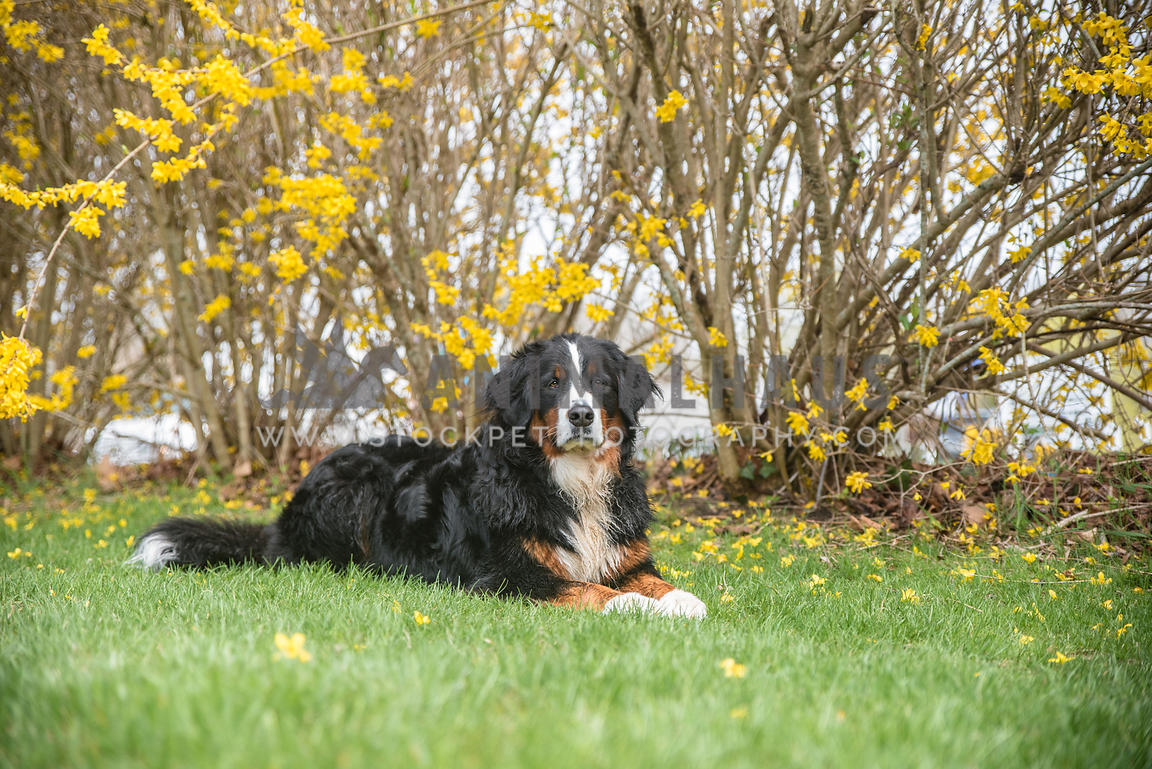 bernese mountain dog lying in grass in front of yellow flowering bushes