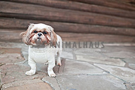 shih tzu in sweater on log cabin porch with flag stone