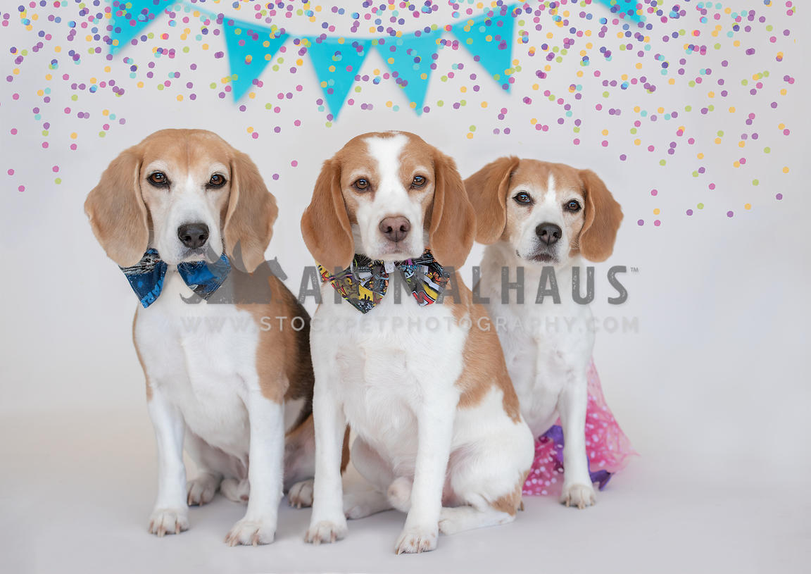 3 beagles sitting next to each other wearing bow ties and a tutu