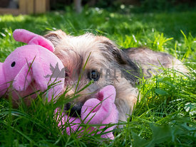 terrier puppy cuddling with pink pig toy in grass