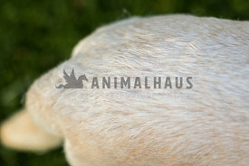 close up of white fur on the back of a yellow labrador