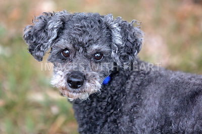 Small grey poodle cross