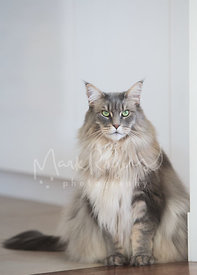 Grey Silver Maine Coon Cat Sitting