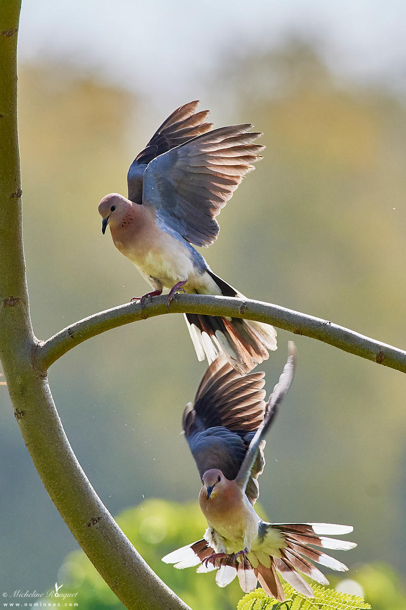 Laughing doves stretching after mating mount