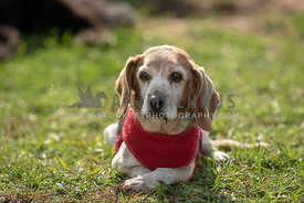 Senior beagle wearing a harness on the grass