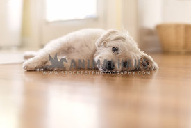 Fluffy dog laying on wooden floor in beam of sunlight