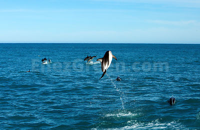 Dusky dolphin jumps in New-Zealand