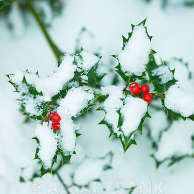 Holly with berries in snow