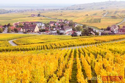 Vineyards, Riquewihr, Alsace, France