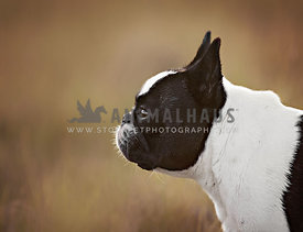 Pied French Bulldog outside profile