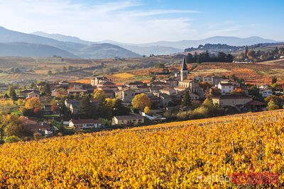 Vineyards in autumn, Beaujolais region, Rhone Alpes, France