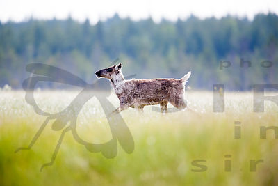 Wild Forest Reindeer on Swamp