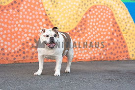 smiling english bulldog standing in front of colorful painted wall