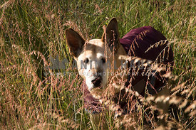 Senior dog in long grass, wearing a maroon coat.