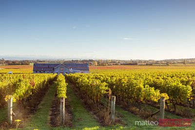 Vineyards, Te Mata Estate Winery,Hawke's bay, New Zealand