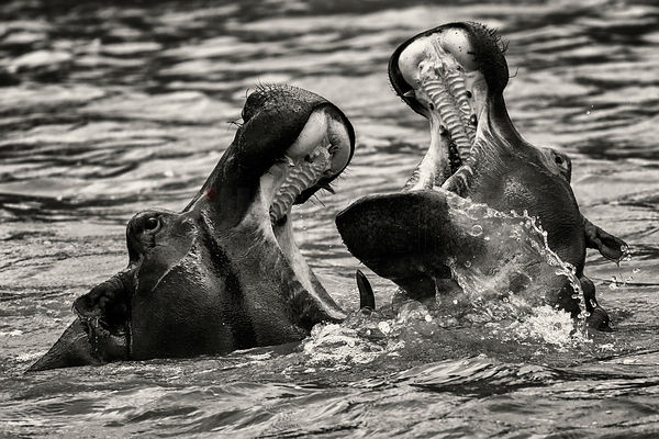 Adolescent Hippos Sparring in the St Lucia Estuary