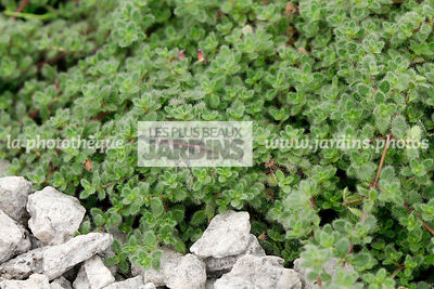 Thymus praecox subsp. britannicus Holub (thym laineux), Wooly thyme, Lamiaceae, Synonyme Thymus pseudolaginosus, Vivace rusti...