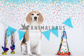 beagle sitting with birthday decorations around him