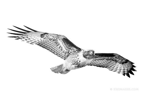 FERRUGINOUS HAWK POINT REYES NATIONAL SEASHORE CALIFORNIA BLACK AND WHITE
